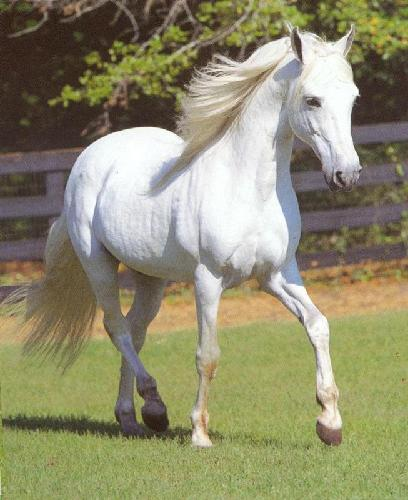 Beautiful White Horse Jumping Beautiful White Horse Jumping